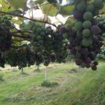 葡萄の実が色づいてきました véraison